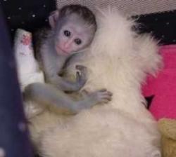 Top quality baby capuchin monkeys