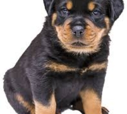 8 Beautiful Male Rottweiler  ready now
