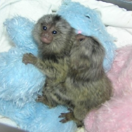 Adorable Cute baby pygmy marmoset monkeys for sale .whatsapp me at: +447418348600