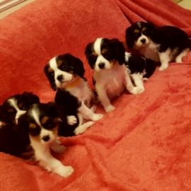 beauitful sweet cavalier king charles ready now