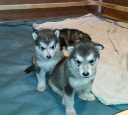 Home Trained Alaskan Malamute Puppies For Sale