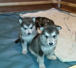 Affectionate Alaskan Malamute Puppies For Sale