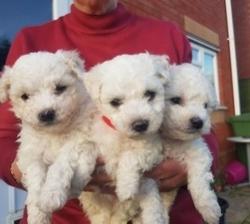 Beautiful Bichon frise pups,.