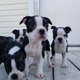 Very healthy and cute Boston Terrier puppies.