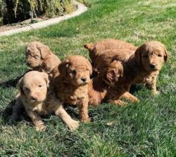 Doodles Puppies +447440524997