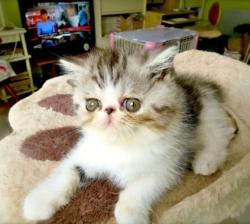 Exotic Kittens