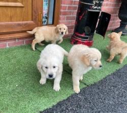Gorgeous Golden Retriever puppies
