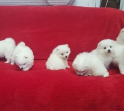 Charming and Beautiful, outstanding Japanese spitz puppies ready now.