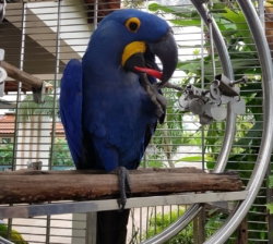 We have a Male and Female Hyacinth Macaw parrot for adoption