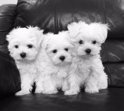 Stunning White Teacup Maltese Puppies +447440524997