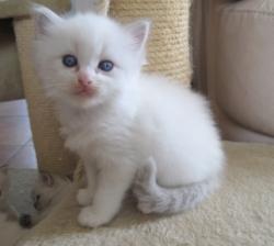 Gorgeous Gccf Ragdoll Kittens,.whatsapp me at: +447418348600