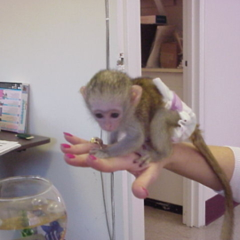 Capuchin monkey like this before..whatsapp me at: +447418348600