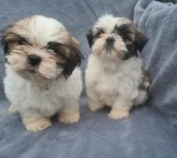Adorable Shih Tzu Puppy's..