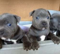 KC Registered Staffordshire Bull Terrier pups for sale
