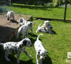 Gorgous Dalmation Puppies