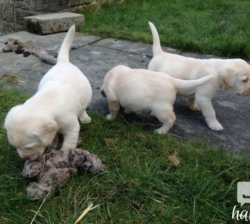Gorgous Labrador For Sale