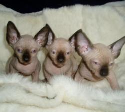 Canadian Sphynx Kittens