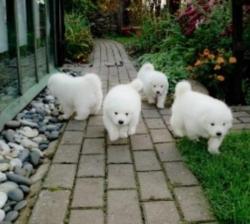 Gorgeous Samoyed Puppies