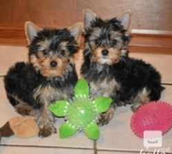 Hjbh Gorgeous and Cute Yorkshire Terrier puppies