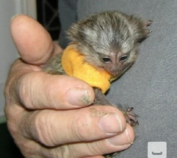 Lovely Marmosets
