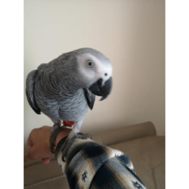 Super silly tame baby African grey set up in Leeds