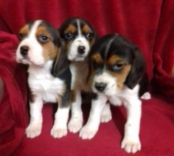 6 Beautiful Male Golden beagle  ready now