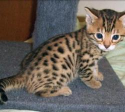 Adorable Brown Rosette Bengal .whatsapp me at: +447418348600