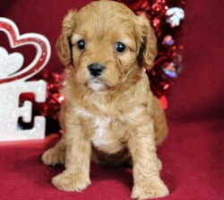 Extensively H sweet Cavapoo ready for sale now