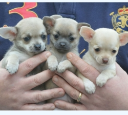 Apple Head Chihuahua Puppies For Sale