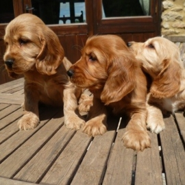 cocker spaniel puppies for sale uk
