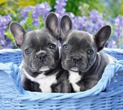 Stunning Kc Blue French Bulldog Puppies