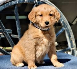Golden Retriever Pups Available Now