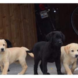 lebrador retriever Puppies