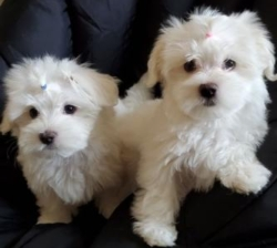 Maltese Puppies ForSale. +447440524997