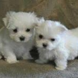 charming teacup maltese puppies for sale