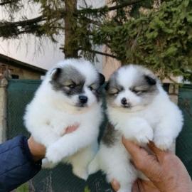 kc registered Pomeranian Pup