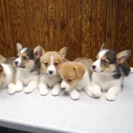 Adorable Welsh Pembroke Corgi Puppies