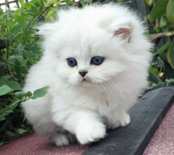 Stunning Lilac Colourpoint Persian Kitens,.whatsapp me at: +447418348600
