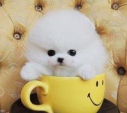 Teddy Bear Face White Pomeranian Puppies
