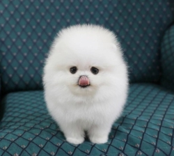 Amazing and beautiful pomeranian puppies ready for adoption