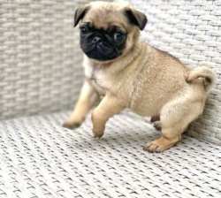 Pug Puppies Ready to go home…