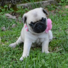 Pug Puppies Ready to go home…whatsapp me at: +447418348600