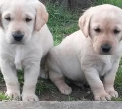 2 Cute Golden Retriever pups