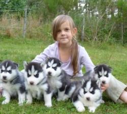 Gorgeous Siberian Husky Puppies .